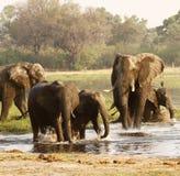 słoń afrykański stada Obrazy Stock