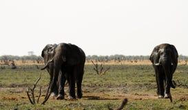 słoń afrykański stada Zdjęcia Stock