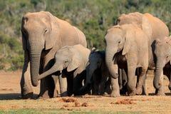 słoń afrykański stada Fotografia Royalty Free