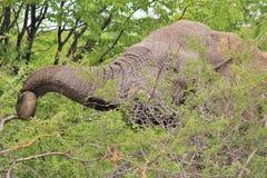 Słoń, afrykanin bagażnika narzędzie dla Jeść - przyrody tło - Zdjęcie Royalty Free