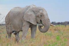 Słoń, afrykanin Mądry stary byk - przyrody tło - Fotografia Royalty Free