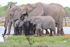 Słoń, afrykanin Szczęśliwi czasy - przyrody tło - Obraz Stock