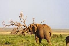 Słoń blisko drzewa Amboseli, Kenja, Afryka Fotografia Stock
