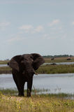 słoń blisko nawadnia Zdjęcia Stock