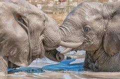 Słoń cieli się zapaśnictwo Obrazy Stock