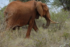 słoń czerwień Zdjęcie Royalty Free