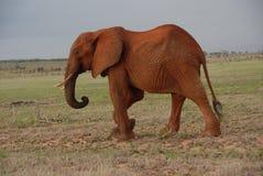 słoń czerwień Obraz Royalty Free