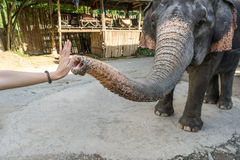 Słoń daje ja pięć z kobiety ręką Obrazy Stock