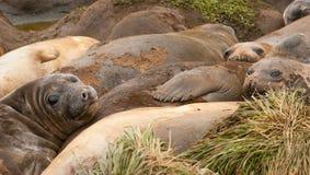 słoń dorastające foki Zdjęcia Stock