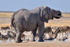 Słoń, Etosha Park Narodowy, Namibia obraz royalty free