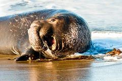 słoń foka Zdjęcie Royalty Free