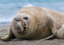Słoń foka, Zdjęcia Stock