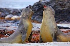 Słoń foka, Mirounga leonina, walka na piasek plaży Słoń foka z skałą w tle Dwa duży denny zwierzę w nat Fotografia Stock