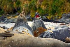 Słoń foka, Mirounga leonina, walka na piasek plaży Słoń foka z skałą w tle Ttwo duży denny zwierzę w na Zdjęcie Stock