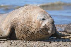 Słoń foka, Patagonia, Argentyna Fotografia Stock