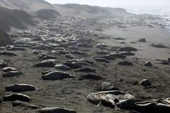 słoń foki Obraz Royalty Free