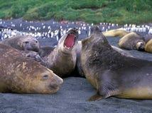 Słoń foki Zdjęcie Stock