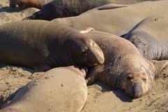 Słoń foki Obrazy Royalty Free