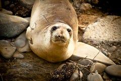 Słoń foki Zdjęcia Royalty Free