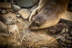 Słoń foki Fotografia Royalty Free