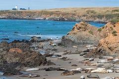 Słoń foki kolonia blisko Piedras Blancas latarni morskiej północy San Simeon na Środkowym wybrzeżu Kalifornia obraz royalty free