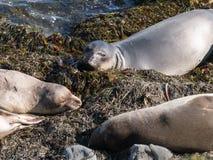 Słoń foki na plaży Zdjęcia Stock