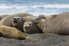 Słoń foki Patagonia Argentyna Zdjęcia Stock