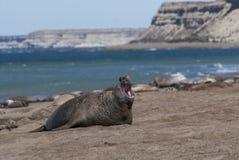Słoń foki Patagonia Argentyna Obraz Stock