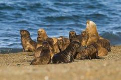 Słoń foki Patagonia Argentyna półwysep Zdjęcia Stock