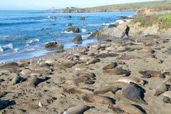 Słoń foki Rookery centrala Kalifornia Obrazy Royalty Free