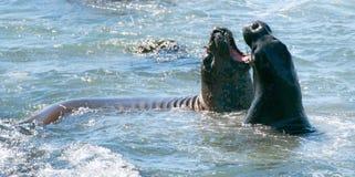 Słoń foki walczy w Pacyfik przy Piedras Blancas słonia foki rookery na Środkowym wybrzeżu Kalifornia Zdjęcie Royalty Free