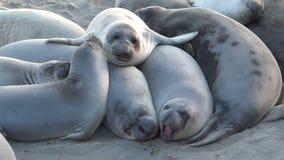 Słoń foki Zbiera Wpólnie Dla ciepła zdjęcie wideo