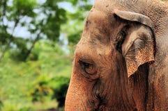 słoń głowa Zdjęcie Royalty Free
