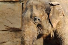 słoń głowa Zdjęcie Stock