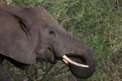 słoń grasing fotografia royalty free