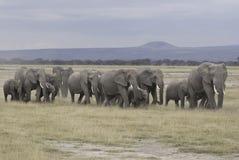 słoń grupa Obraz Royalty Free