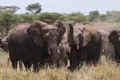 słoń grupa obrazy royalty free