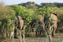 Słoń grupa Zdjęcie Stock