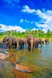 Słoń grupa w rzece Obrazy Royalty Free