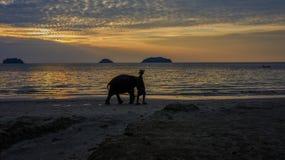 Słoń iść przy zmierzchem wśród plaży Obrazy Royalty Free