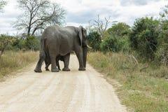Słoń i łydka krzyżuje wąską drogę gruntową zdjęcia stock