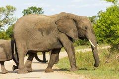 Słoń i łydka krzyżuje zakurzoną drogę gruntową w parku fotografia royalty free