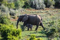 Słoń i dziecko w Addo słonia parku narodowym, Południowa Afryka Zdjęcia Royalty Free