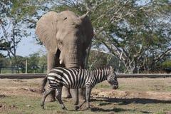 Słoń i zebra w zoo safari parku, Villahermosa, Tabasco, Meksyk Fotografia Royalty Free
