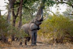 Słoń je młodych krótkopędy drzewo Zambiowie Niski Zambezi park narodowy obraz royalty free