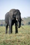 słoń jedzący trawy. Zdjęcie Stock