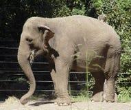 słoń jedzenia zdjęcie royalty free