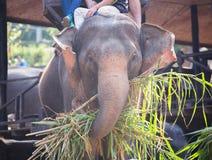 Słoń jest je trawy z turystą na słonia plecy w elepha Zdjęcie Royalty Free