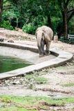 Słoń jest wodą pitną zdjęcie royalty free
