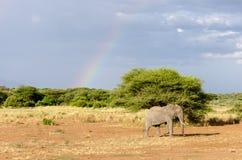 Słoń, Jeziorny Manyara park narodowy Zdjęcie Royalty Free
